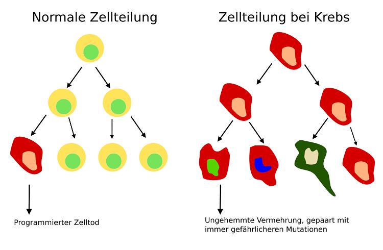 Zellteilung_normal_im_Gegensatz_zu_Krebs_svg klein
