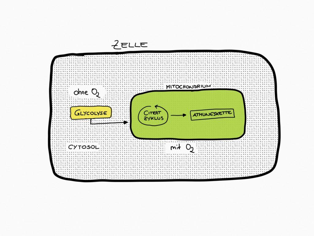 Schematische Darstellung einer Zelle. Die Glykolyse findet im Zellplasma statt. Krebszyklus und Atmungskette laufen im Inneren der Mitochondrien ab.